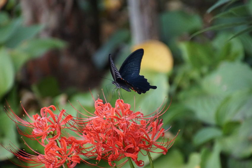 Butterfly - Insect EyeEm Nature Lover Flower EyeEm Best Shots Nature_collection Outdoors Insect Autumn 曼珠沙華 Autumn Collection Autumn Colors 彼岸花 Cluster Amaryllis