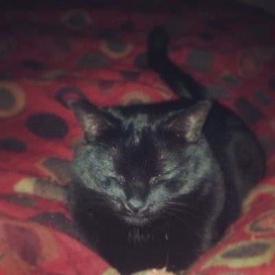 Ozzie..my other nap buddy. Cat Catlovers Catsofinstagram Igcats blackcats rescuepets stlouiscardinals