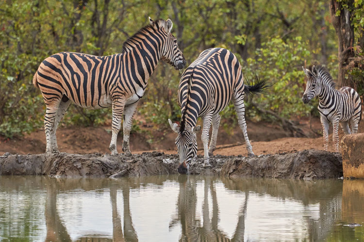 Zebras drinking water in lake
