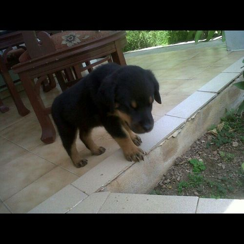 Sam de pequeño Rottweiler Roottie