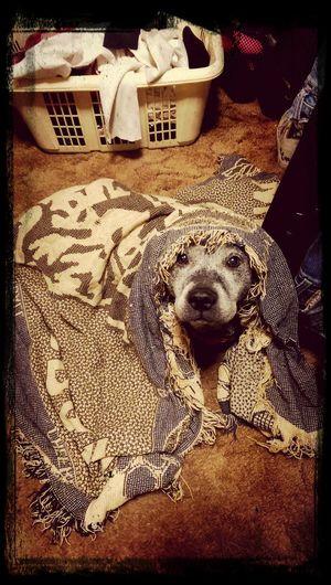 Sleepy dog. Loa Rescue Dog Pitbull Playing With The Animals