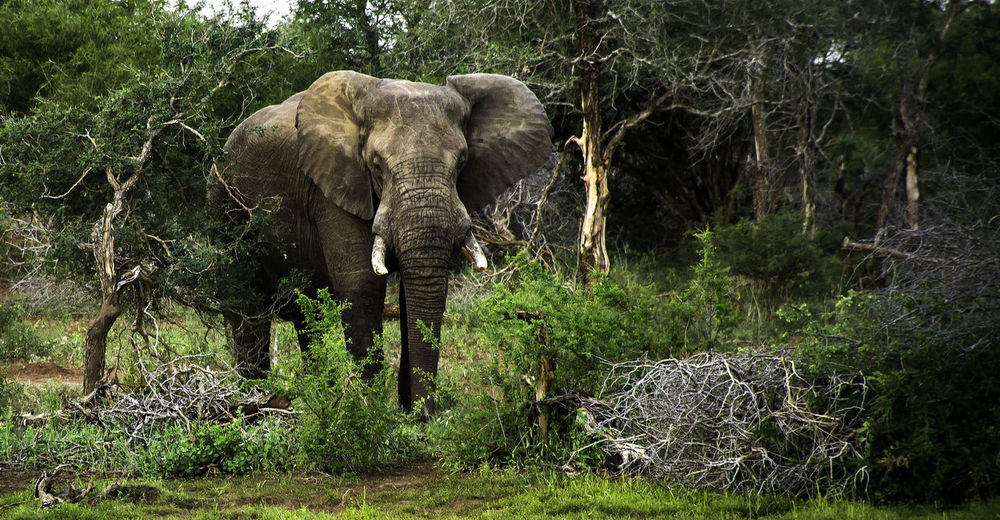 Game Drive Looking At Camera African Elephant Animal Animal Body Part Animal Themes Animal Trunk Animal Wildlife Animals In The Wild Day Elephant Forest Herbivorous Land Mammal Nature No People One Animal Outdoors Plant Safari Tree Vertebrate