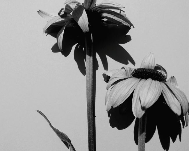 EyeEm Selects Echinacea Purpurea Echinacea Flower Head Petal Plant Nature Freshness Beauty In Nature Eastern Purple Coneflower Day Black & White Blackandwhite Photography Flower Portrait Two Flowers Light And Shadow