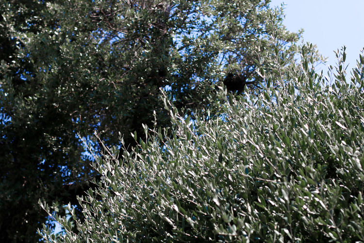 Plant Provence Provenza Provence Alpes Cote D´Azur Nature Olive Greece GREECE ♥♥ Patmos Crete Crete, Greece, Chania, Heraklion, Architecture, Island, Sea, Travel, Blue, Venetian, Tourism, Old, Landmark, Mediterranean, Greek, Summer, Building, Europe, Port, City, Bay, Town, Landscape, Vacation Outdoors Beauty In Nature Tree No People Tranquility St Tropez  Nice Italy Summer Summer Vacation Relax Relaxing Chill Out Peaceful