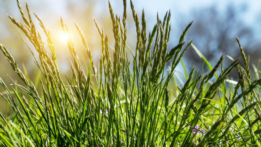 Flowering grass in detail - Allergens - Allergy in Germany Plant Growth Green Color Beauty In Nature Nature Grass No People Land Blade Of Grass Outdoors Hay Fever Hay Fever! Hay Fever Season