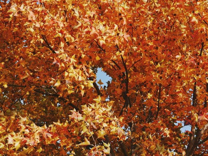 Tree Maple Leaf