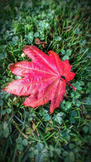 Leaf Red Autumn
