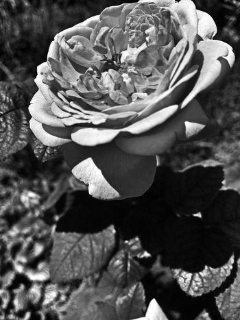 Just Black&white 3rd edit Roses Flowerporn EyeEm Nature Lover In Between The Flowers~entre Las Flores Flowers,Plants & Garden NEM Black&white Black & White EyeEm Best Shots - Black + White Flowers