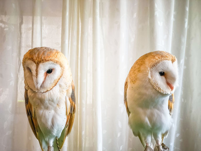 Twins Owls in