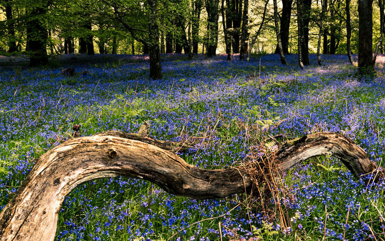 Bluebells carpet the forest floor near Cornbury Park in Oxfordshire, England. Bluebell Wood WoodLand Beauty In Nature Blue Bluebell Bluebell Woods Bluebells Bluebells In The Woods Flowering Plant Flowers Forest Forest Flowers Growth Nature No People Outdoors Plant Purple Tranquil Scene Tranquility Tree Tree Trunk