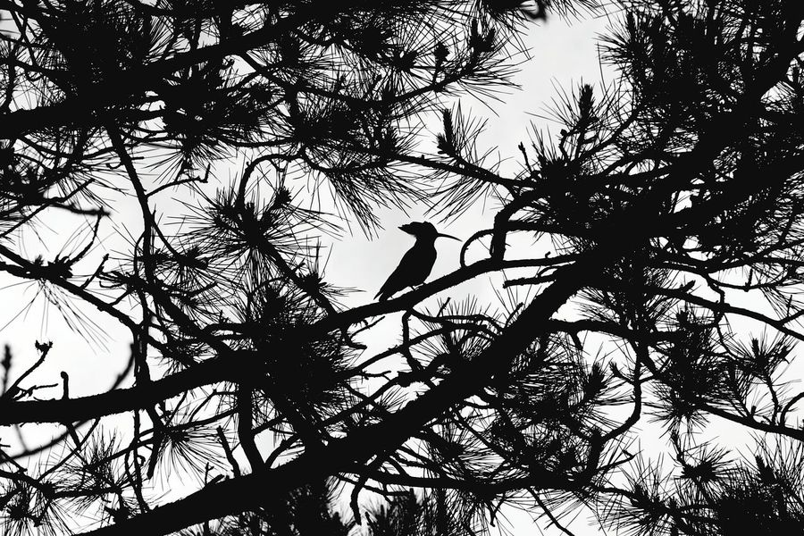 Tree Bird Animal Themes Nature Low Angle View Animals In The Wild Branch Perching Silhouette Animal Wildlife One Animal Sky No People Outdoors Day Beauty In Nature Wood Pecker EyeEm Masterclass Nature_collection Nature Lovers Naturelovers Tree_collection  Bird Photography Birds_collection EyeEm LOST IN London