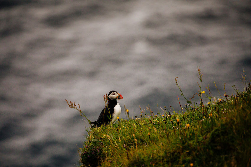 Gasadalur Puffin Tadaa Community Animal Animal Themes Animal Wildlife Animals In The Wild Beauty In Nature Bird Day Faroe Islands Field Grass Growth Land Nature No People One Animal Outdoors Perching Plant Selective Focus Side View Vertebrate