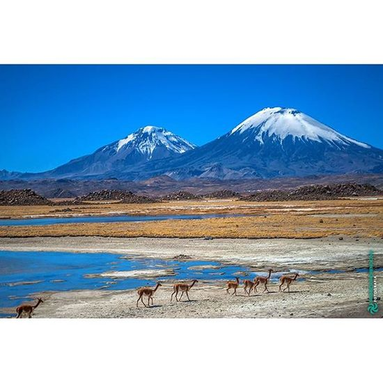 Vicuñas e Nevado Sajama, Parque Nacional Sajama - Oruro, Bolivia www.mauriciomoreno.com/saj.html Sajama Oruro ParqueNacional Bolivia mountain nature landscape nationalpark desert nevado @usereserva quesejareserva instamission248 mmorenofoto