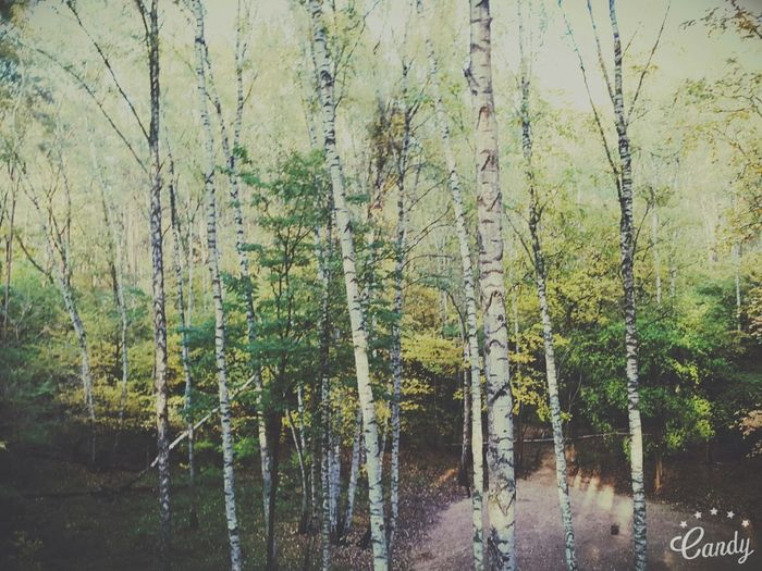 Wald Wood Waldspaziergang Birken