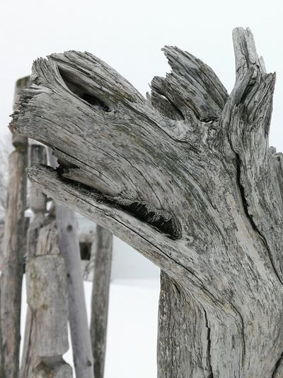 Artwood Natural Shapes Wolf Driftwood Wood Low Angle View Nature Sky Outdoors Close-up Animal Themes