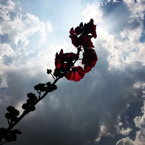 從車站騎了一小時的車才抵達的蜀葵花海,很值得 The View And The Spirit Of Taiwan 台灣景 台灣情 Travel Sky Cloud - Sky Nature Low Angle View No People Day Plant Outdoors Beauty In Nature Hanging Decoration Celebration Tranquility Tree Flowering Plant Red Sunlight This Is Natural Beauty