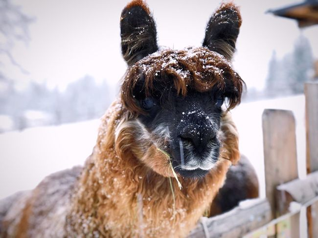 Lama in the snow Domestic Animals Animal Themes Mammal One Animal Day Portrait No People Snow Winter Outdoors Pets Nature Cold Temperature Looking At Camera