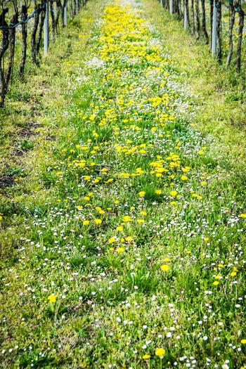 Yellow flowers on field