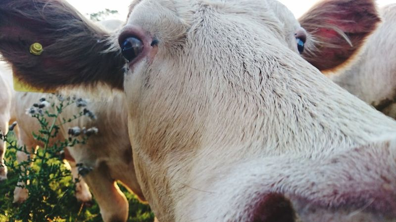 Curious cows, Shropshire Hills Close Up Cow Cow Face Eyes Cow Eyes Closeupshot Agriculture Cow Close-up Livestock Cattle Domestic Cattle Dairy Farm Grazing Bull - Animal Calf Farm Animal Horned Pasture Herbivorous Domesticated Animal Tag
