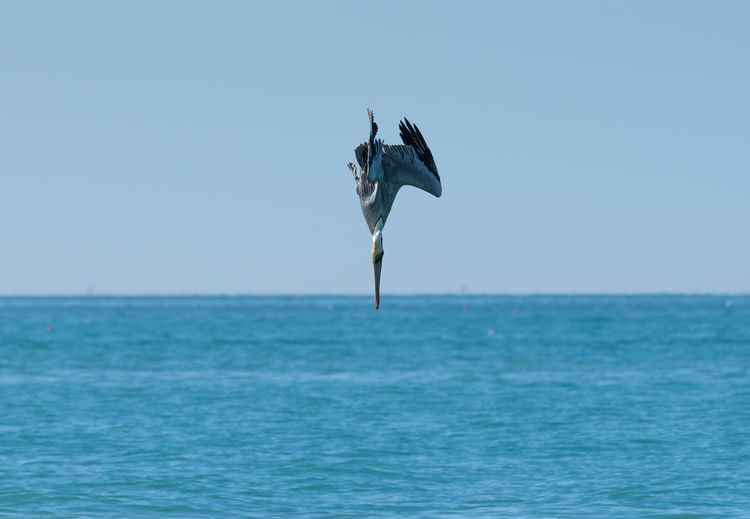 Pelican Against Clear Blue Sky
