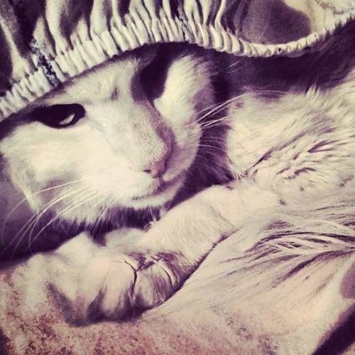Gato branco Domestic Cat Pets Feline Cat Dosevisk Petlove  Gatobranco Gato Blanco Gato😽 deixou saudades Pet Portraits