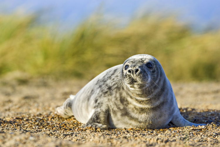 Close-Up Of Seal On Sand