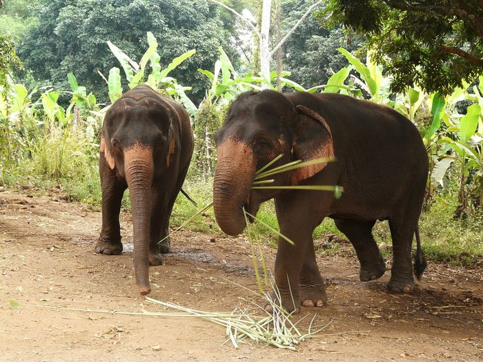Two beautiful Asian jumbos - action trunks Two Jumbos Asian Jumbo Jumbo Is Eating Trunk Is Working Asian  Fauna Animal Who Is Eating In Front Two Trunks Palms Vegetation Ocher Color Pachyderm Elephants Pachyderme Full Lenght Animal Photography Life3 Filter In Thailand continental Travel Destination
