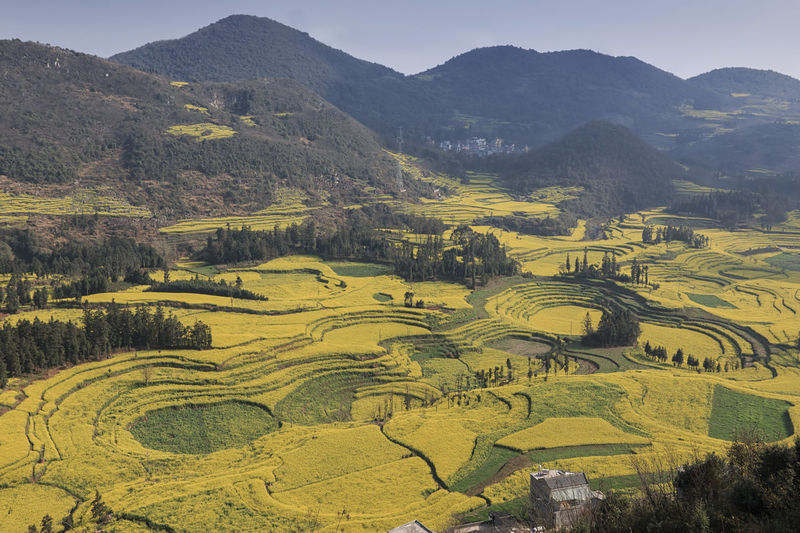 Canola field, rapeseed flower field with morning fog in Luoping, China, near Kunming ASIA Luoping Rapeseed Field Blooming Canola China Flower Kunming Landscape Yunnan