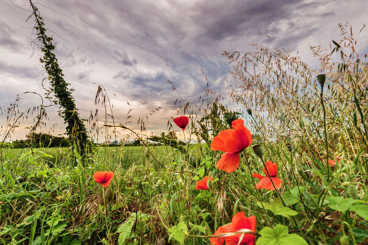 Road side Poppies of Italy Italia Moody Sky Beauty In Nature Blooming Close-up Cloud - Sky Day Field Flower Flower Head Freshness Growth Italy Nature Plant Popies Poppy Red Sky