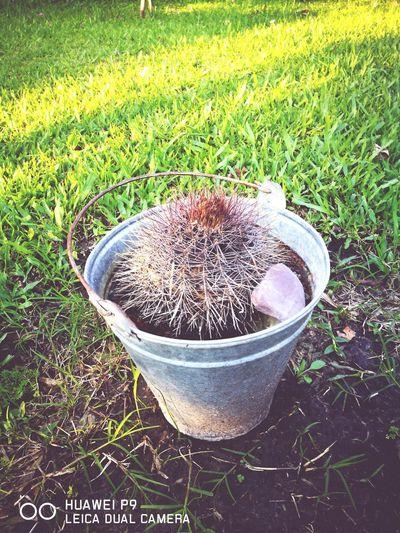 cactus en balde