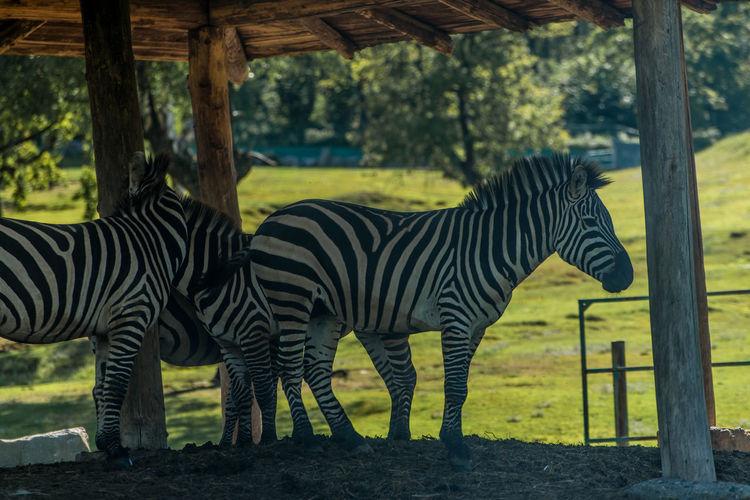 Zebras Below Gazebo At National Park