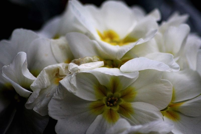 White Flower White Flower Yellow Center Yellow White Fliegers Balcony Flower Balcony Sunny Beauty In Nature Flower Collection Close Up Close Up Photography Freshness Nature Dark Background Beautiful Flower Photography