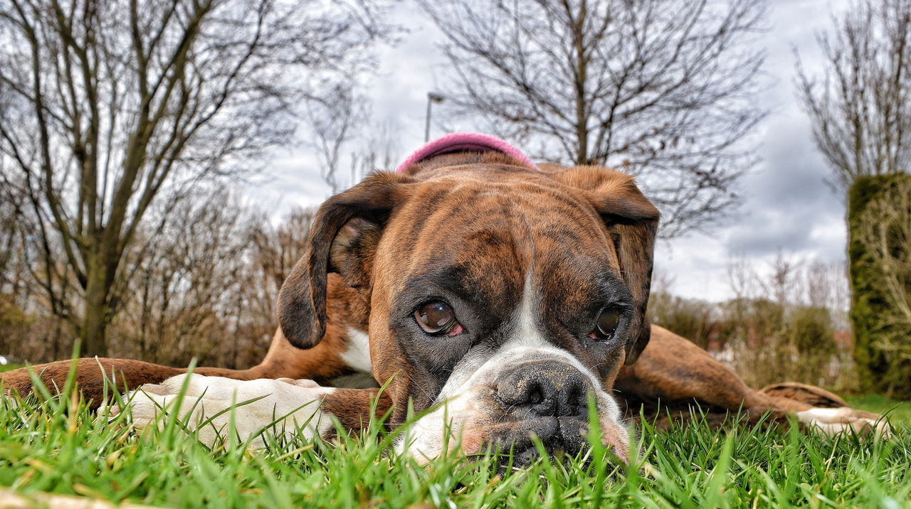 Close-Up Portrait Of Boxer Relaxing On Grassy Field