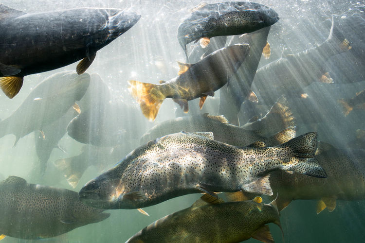 Close-Up Of Rainbow Trouts Swimming In Tank At Aquarium