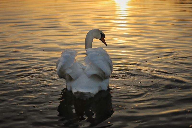 """Majestic evening mood"" Https://www.facebook.com/mh.photography.de/ Michael Hruschka Wasservogel Vogel Reflection Water Sonne Sun Sonnenuntergang Schwan  Mood Abendstimmung Sunset Sunrise Evening Animals In The Wild Animal Themes Lake Water One Animal Bird Swimming Animal Wildlife Swan Waterfront No People Nature Water Bird Day Beauty In Nature"