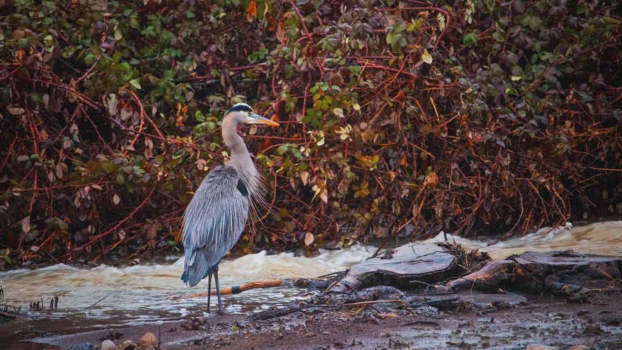 Blue Heron Blue Heron Animal Themes Bird Animal Vertebrate Animals In The Wild Animal Wildlife One Animal Nature No People Water Land Beauty In Nature Cold Temperature Outdoors