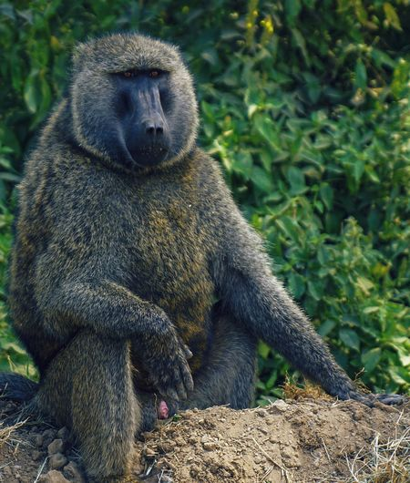 A wild male baboon looks out into the distance, lake nakuru national park, rift valley, kenya