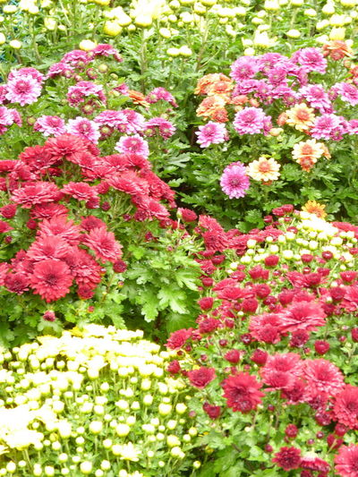Aleq Beauty In Nature Close-up Day Flower Flower Head Flowerbed Flowering Plant Fragility Freshness Garden Growth Inflorescence Leaf Nature No People Ornamental Garden Outdoors Petal Pink Color Plant Plant Part Springtime Vulnerability