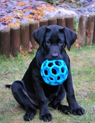 Portrait of dog with ball sitting at field