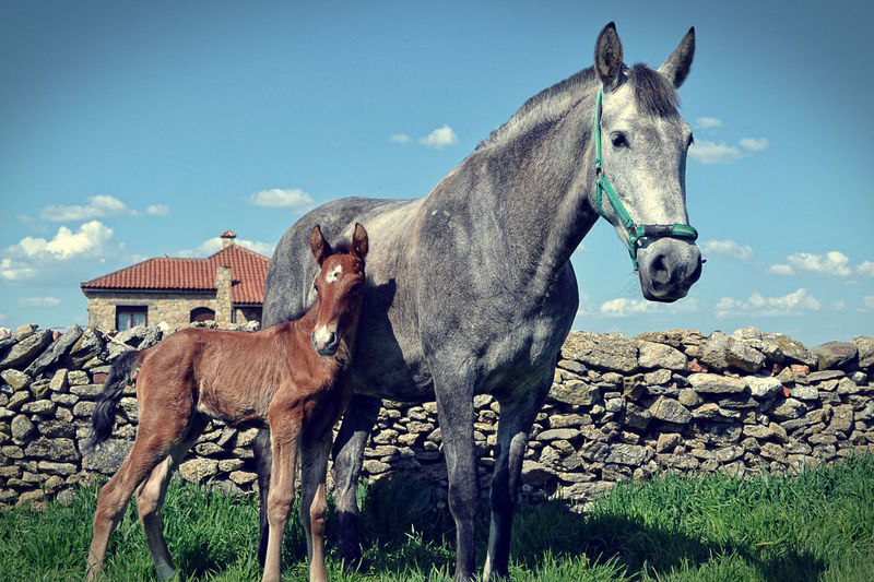 EyeEm Animal Lover EyeEmNewHere Horses Animal Themes Cloud - Sky Day Domestic Animals Field Foal Grass Herbivorous Horse Livestock Mammal Nature No People Outdoors Potro Sky Standing Togetherness Two Animals Yegua
