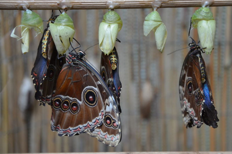 Close-up of butterflies hatching from cocoon