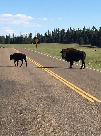 Buffalo at Grand Canyon North Rim entrance North Rim Grand Canyon Buffalo