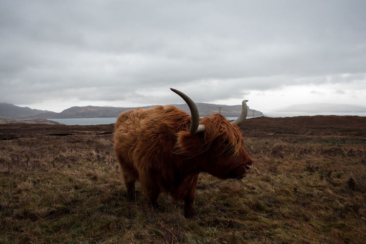 Bumped into this guy on the Scottish Isle of Skye 🏴󠁧󠁢󠁳󠁣󠁴󠁿 Animals In The Wild Europe Trip Highland Cattle Moody Sky Nature Photography Scotland Scotland 💕 United Kingdom Wildlife & Nature Animal Themes Cloud - Sky Cow Domestic Animals Highland Cattle Isle Of Skye Landscape_photography Livestock Mammal Moodygrams Outdoors Wildlifephotography