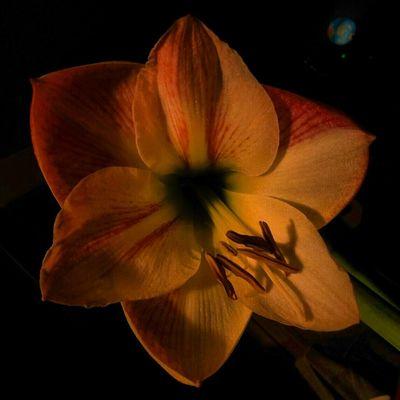 Night Amarillis Nature Flower Amaryllis Night