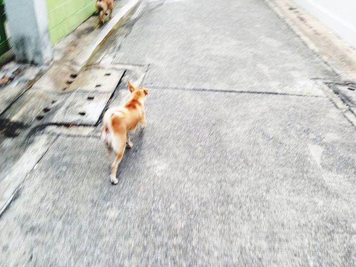 Patroling! Running Dog Brow Dog Corky Bangkok Thailand Out Focus On The Street Thai Street Dog