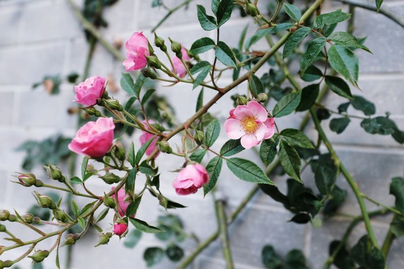 Rose - Flower Plant Flower Flowering Plant Growth Pink Color Beauty In Nature Freshness Vulnerability  Plant Part Petal Inflorescence Leaf Fragility Nature Flower Head Focus On Foreground Tree Day Close-up