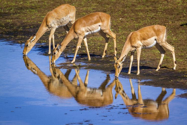 Impalas standing at lakeshore