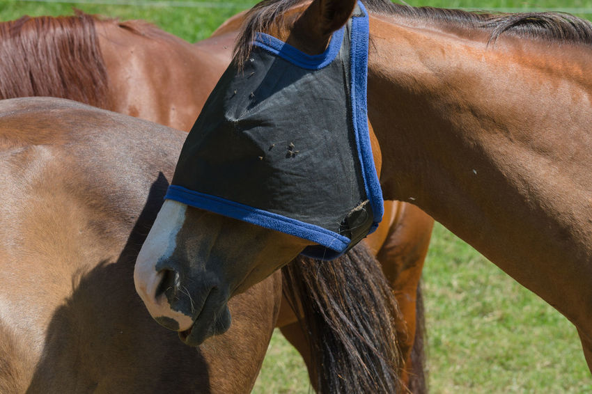 Fly protection mask for horses optimally protects the horse against insect Animal Animal Body Part Animal Head  Animal Themes Animal Wildlife Brown Day Domestic Domestic Animals Field Herbivorous Horse Horseback Riding Land Livestock Mammal One Animal Outdoors Pets Ranch Riding Vertebrate Working Animal