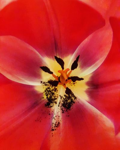 Tulip Tulips Tulips Flowers Red Red Flower Redtulip Stamen Beauty In Nature No People Freshness Nature Plant