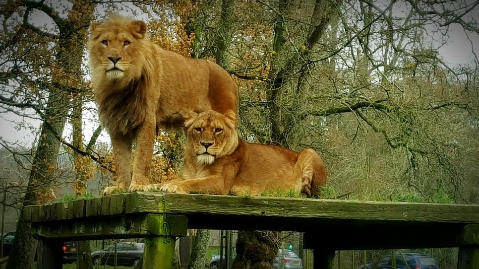 """I'm gonna be a mighty king"" Wildlife Safari Samsung Galaxy S6 Edge+ Samsungphotography Longleat Zoo Festival Of Lights Lions"